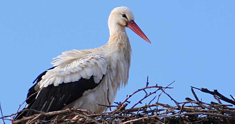 Por San Blas, la cigüeña veras… en Alfaro