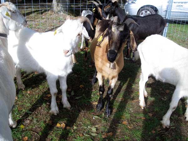 Feria-ganadera-de-Ojacastro-cabras
