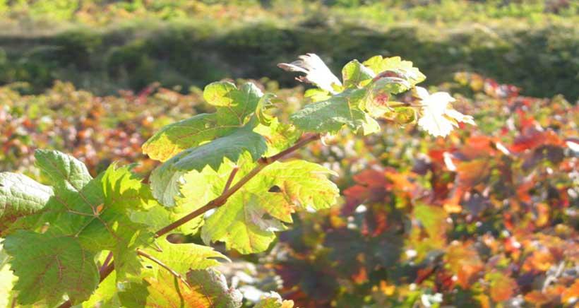 Este sábado 6º paseo popular Entre Viñas, en Elciego