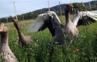 Visitas gratuitas a la granja de ocas de Ocón