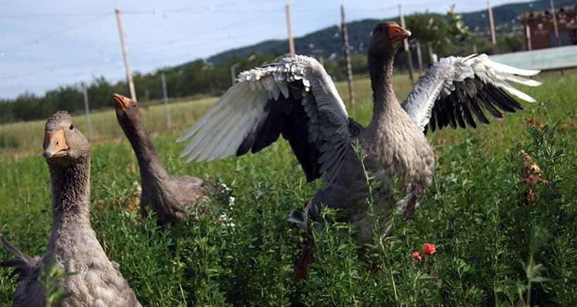 Visitas a la granja de gallinas y ocas en libertad de Ocón