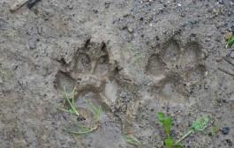 Recrea las huellas de los animales que viven en La Grajera