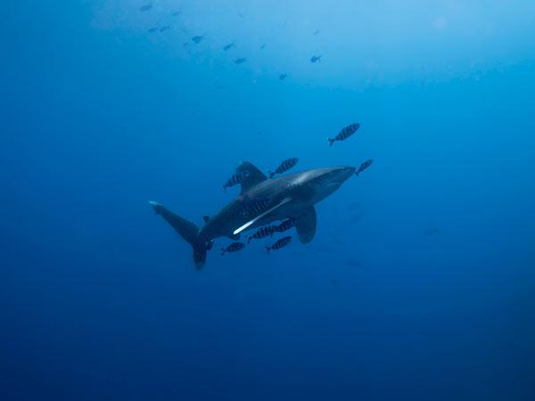 tiburon-expo-buceo-logrono