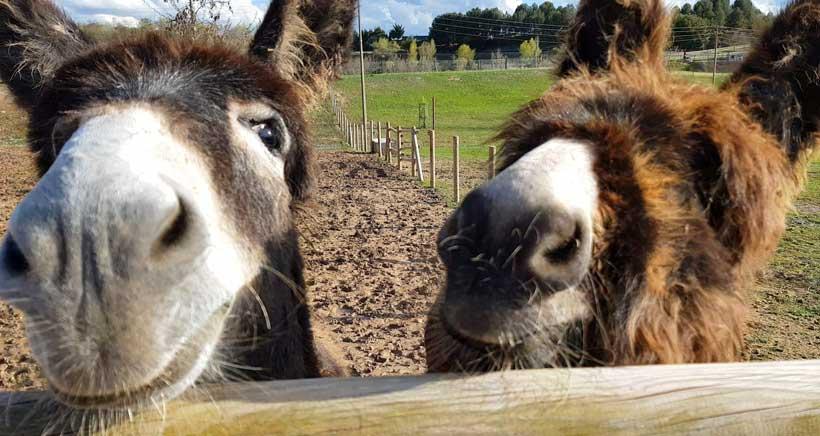 burros-granja-grajera