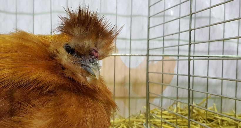 Más de 600 aves se darán cita en la exposición de Avicultura de La Rioja, en Albelda