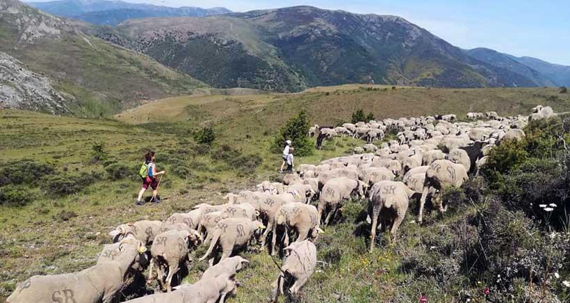 Un día entre ovejas y pastores, en Brieva de Cameros