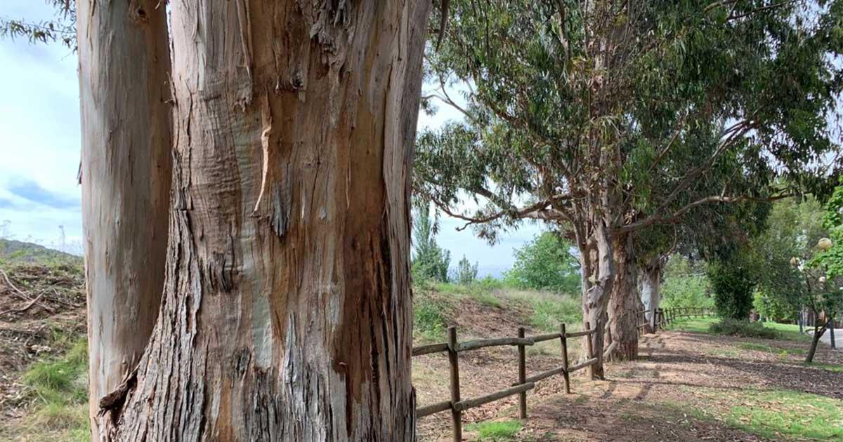 eucaliptos-de-la-grajera