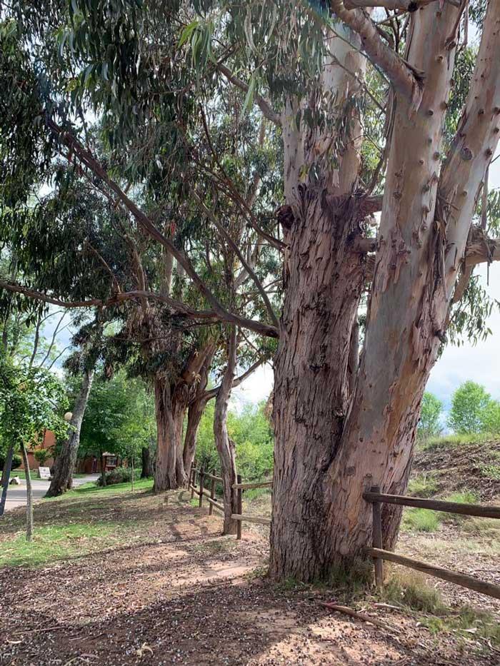 eucaliptos-de-la-grajera4